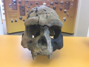 3D Printed Homo Erectus Skull